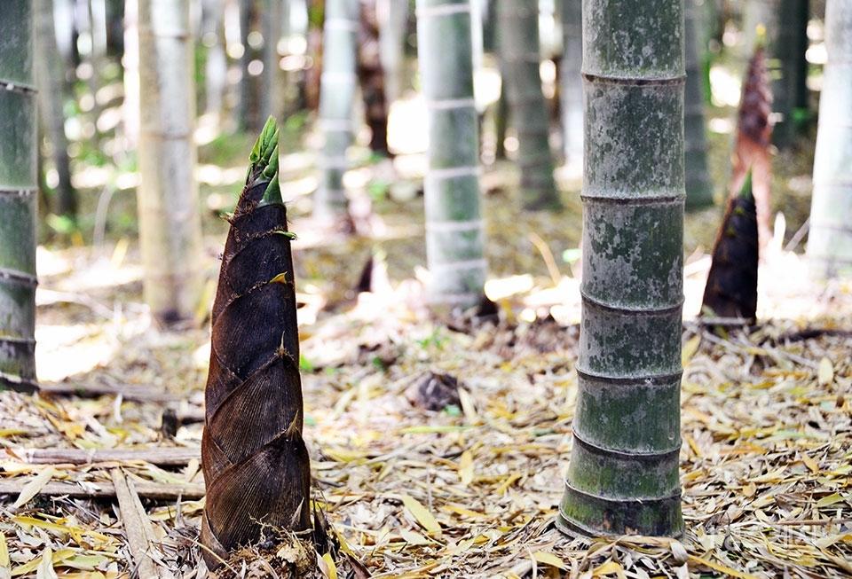 여름을 알리는 소만이지만 담양의 대나무들은 가을을 맞이했다. 사진제공 / 담양군청